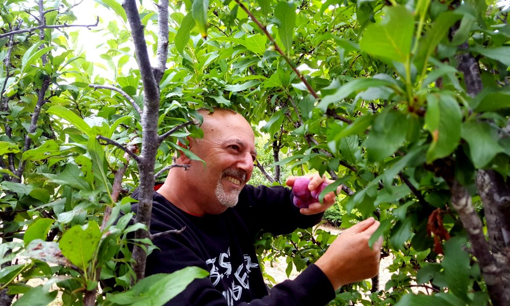 Antonio picking Little Hill Farm Plums